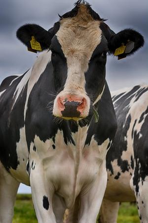 cow_450x300